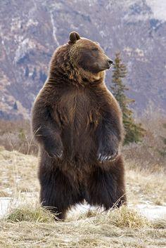 "llbwwb: ""Grizzly Alert & Standing (by AlaskaFreezeFrame) """