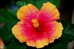 Tulipán (hibiscus). - En climas subtropicales y tropicales la floracion es continua durante todo el año, en clima continentales es en verano.