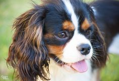 Sunshine Happiness #puppy #happy #pup #cavalier #cavalierkingcharles #spaniel #pet #petphotography #photography