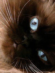 cat portrait ~ blue eyes