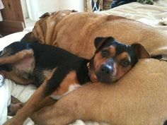 Kuva sivustosta http://www.pets4homes.co.uk/images/classifieds/2012/07/10/68312/large/jack-russell-black-and-tan-short-legged-54a2ec3a7b77d.jpg.