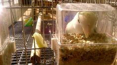 Agapornis Comiendo Grains, Rice, Food, Meal, Eten, Meals, Jim Rice, Korn, Brass
