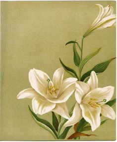 """Illustration of three white lilies on a light green background from """"Flowers from Dell and Bower"""", 1896"""