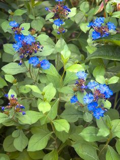 """Ceratostigma Plumbaginoides (Plumbago, Leadwort) - Short 10"""" (Plant 12"""" apart); Blooms Summer to Fall; Mostly Sunny to Mostly Shady (morning sun, afternoon shade); Zones: 5-9; Soil: Normal, Sandy; sale $6.26, www.bluestoneperennials.com"""