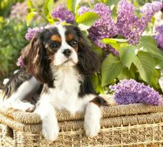 Two of my very, very favorite things - lilacs and Cavaliers!!