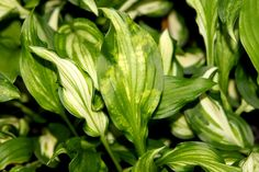 Hostas are relatively troublefree, but they can be affected by various diseases just like any other plant. Learn more about a few of the most common hosta plant diseases and treatments in this article. Click here for more information.