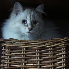 #animal #cat #pet #wicker #basket #neva... | Wicker Blog  www.wickerparadise.com