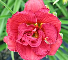 Hemerocallis Variety is the Spice    Hemerocallis 'Variety is the Spice' is another impressive new reblooming Daylily from Centerton Nursery's Darrell Apps. Elegantly formed, double coral-red flowers are 4in wide and begin opening early on many multi-branched stems. The display continues exuberantly into fall.