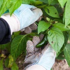 Garden Bugs, Garden Insects, Garden Plants, Cucumber Beetles, Perennial Vegetables, Growing Vegetables, Insect Species, Get Rid Of Ants, Ugly Men