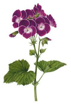Pelargonium 'Black Knight'