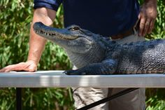 Alligator - Zoo