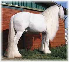 white clydesdale