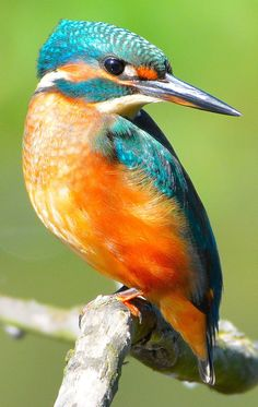 Photos about Kingfisher. Pretty Birds, Beautiful Birds, Animals Beautiful, Small Birds, Colorful Birds, Exotic Birds, Exotic Pets, Kingfisher Bird, Common Kingfisher