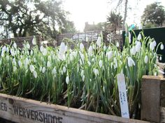 Snowdrops ready for display