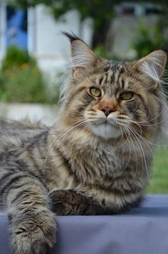 Maine Coon kitty ~ so handsome.
