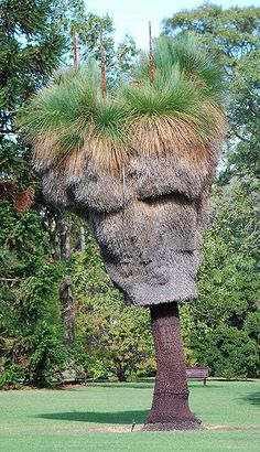 Xanthorrhoea malacophylla is a species of grasstree of the genus Xanthorrhoea. It is endemic to New South Wales, Australia. Mature plants form a single or branched trunk that ranges between 2 and 6 metres in height. It occurs on steep hillsides in coastal ranges between Wyong and Casino