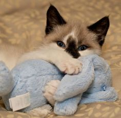 cute seal point kitten cuddles stuffed bunny