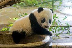 Fu Hu, the second Panda Cub born in Zoo Vienna, 2011