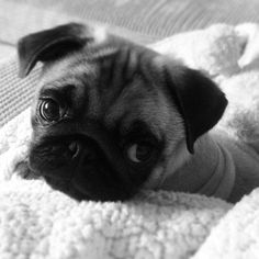 Baby pug is feeling a little blue
