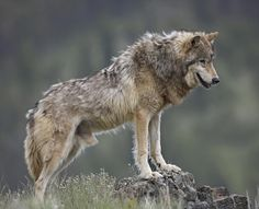Gray Wolf, North America by Tim Fitzharris                                                                                                                                                                                 More