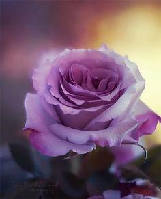 ~~Powerful ~ rose by xOronar~~