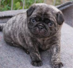 Cute Brindle Pug Puppy