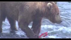 Brown bears feed at Brooks Falls in Katmai National Park and Preserve