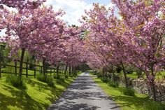 View top-quality stock photos of Narrow Lane Lined With Pink Ornamental Cherry Blossom In Spring. Find premium, high-resolution stock photography at Getty Images. Cherry Blossom Tree, Cherry Tree, Blossom Trees, Beautiful World, Beautiful Places, Cool Pictures, Beautiful Pictures, Long Driveways, White Cherries