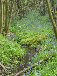 Babbling brook and bluebells