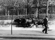 La foto de la semana: Toros junto al Retiro (Calle Alfonso XII) hacia 1940