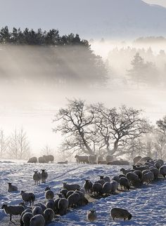 Sheep in snow, Grantown on Spey. Scotland hills forest in background by Aaron Sneddon Photography & Aerial Photographer Snow Scenes, Winter Scenes, Alpacas, Jolie Photo, Scottish Highlands, Scotland Travel, British Isles, Edinburgh, Wonders Of The World