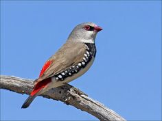 Diamond Firetail  -  Emblema guttata  -  Grass Finch. South-eastern Australia. Lives in open grassland with scattered trees in southern Queensland, New South Wales, Victoria and south-east South Australia.