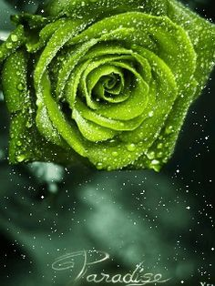 Top 19 Most Beautiful Green Roses