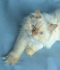 Flame Point Himalayan Kittens and Cats Kittens And Puppies, Cute Cats And Dogs, I Love Cats, Cats And Kittens, Pretty Cats, Beautiful Cats, Pretty Kitty, Animals Beautiful, Crazy Cat Lady