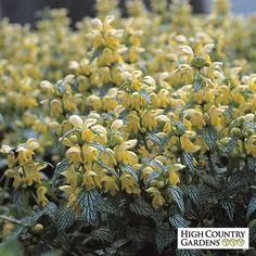 Yellow Lamiastrum galeobdonblon Herman's Pride, Lamiastrum galeobdonblon Herman's Pride, Variegated Yellow…