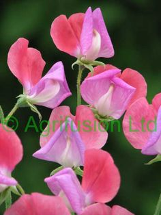 Sweet Pea Lady Turral. Love the 2 tones!