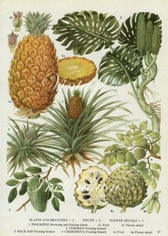 Vintage Botanical Print Pineapples fruit pine apple kitchen 1960s original decor wall art print bookplate