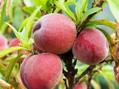 How to prune and train peach trees. The secrets to growing your own peach, nectarine and apricot trees. Fruit Garden, Garden Trees, Edible Garden, Growing Fruit Trees, Growing Grapes, Fruit Trees In Containers, Apricot Tree, Peach Trees, Tree Care