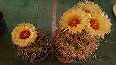 Astrophytum senile v. Cactus, Cacti And Succulents, Plants, Flowers, Plant, Planets