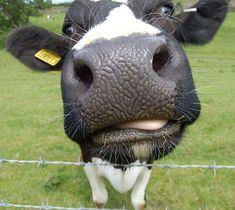 In honor of cow appreciation day. By the way go to any chick-fil-a dressed as a cow and get a free meal today. Cow Photos, Cow Pictures, Farm Animals, Funny Animals, Cute Animals, Cow Nose, Animal Noses, Baby Cows, Cute Cows