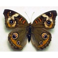 California Buckeye Butterfly