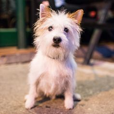"""Cooper, Jack Russell Terrier (5 y/o), Greenwich & Perry St, New York, NY • """"It's called a 'broken coat'."""""""