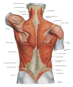 Diagram Back Muscles Upper Back Human Anatomy Diagram – Anatomy Human Body
