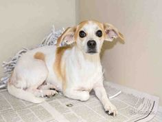 HOUSTON - This DOG - ID#A420843 I am a female, white and brown Chihuahua - Smooth Coated and Jack russell. My age is unknown. I have been at the shelter since Dec 06, 2014.