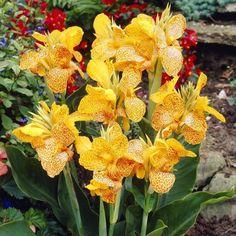 Canna Canna En Avant Bulb Flowers, Leaf Flowers, Flower Petals, Summer Flowers To Plant, Planting Flowers, Bulbous Plants, Most Beautiful Flowers, Warm Colors, Green Leaves