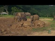 Watch these baby elephants take a ridiculously adorable mud bath!