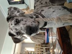 Great Dane play time!