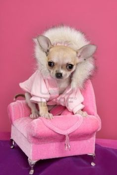 Chihuahua is a very amazing dog. So now that you are interested in adopting or buying Chihuahua, check first the list of Chihuahua colors and markings Cute Chihuahua, Chihuahua Puppies, Cute Puppies, Cute Dogs, Teacup Chihuahua, Little Dogs, Unique Dog Beds, Yorkshire Terrier, Dog Photos
