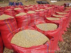 Safra de arroz bate record em 2012 (Foto: Diátio TV 1ª Edição)