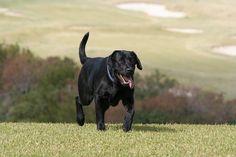 labrador retriever | Labrador retriever - Fotos | Tu amigo el perro